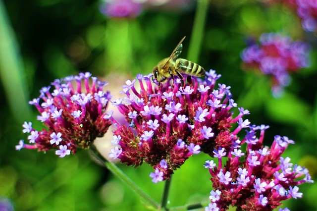 Wasp taking nectar from a Verbena bonariensis